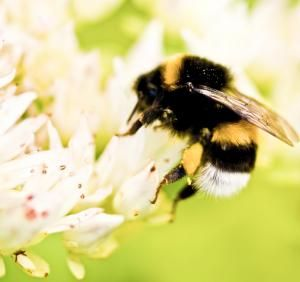How Do Bumblebees Get Predators to Buzz Off?