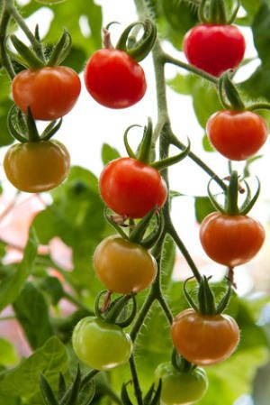 Organic Tomatoes Contain Higher Levels of Antioxidants Than Conventional Tomatoes